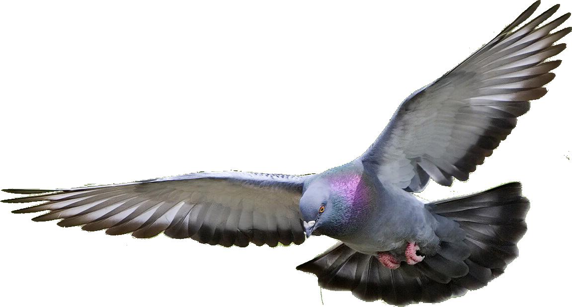 yabani güvercin uzaklaþtýrma